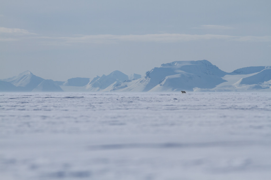 Polar bear on Van Mijenfjorden sea ice near Svea