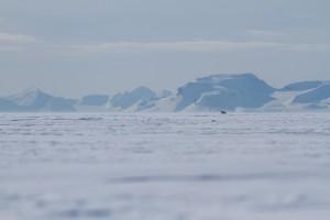 Polar bear on Van Mijenfjorden sea ice near Svea