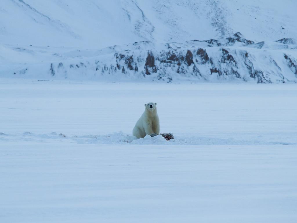 Polar bear curiously staring at us on Tempelfjorden sea ice.