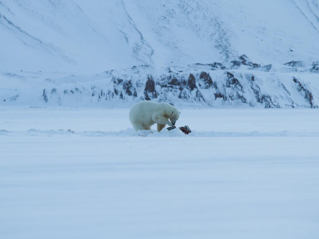 A polar bear enjoys his catch on the sea ice in Tempelfjorden.